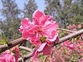 碧桃 Prunus persica v rubro-plena -鄭州紫荊山公園 Zhengzhou, China- (9190633695).jpg