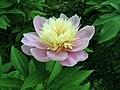 芍藥-托桂型 Paeonia lactiflora Cradling-Stamens-series -北京植物園 Beijing Botanical Garden, China- (9190630779).jpg