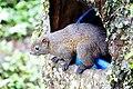 赤腹松鼠 Callosciurus erythraeus - panoramio.jpg