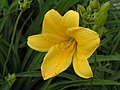 金娃娃萱草 Hemerocallis fulva 'Golden Doll' -北京花卉大觀園 The World Flower Garden, Beijing- (9216112350).jpg