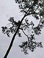 黑松 Pinus thunbergii 20211007185113 11.jpg