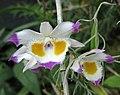 齒瓣石斛 Dendrobium devonianum -新加坡濱海灣花園 Gardens by the Bay, Singapore- (24349013274) (cropped).jpg