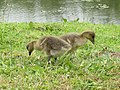 -2020-06-10 Greylag Goose (Anser anser), Paston village pond, Norfolk (3).JPG