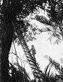 014023 Climbing tree op Buna.JPG