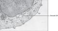 0313 Endoplasmic Reticulum c en.png