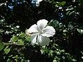 09335jfHibiscus cultivarfvf 03.JPG