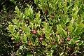 0 Vaccinium myrtillus - Vallorcine (2).jpg