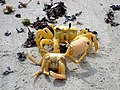 101207 Golden ghost crabs Gnaraloo Bay Rookery.JPG