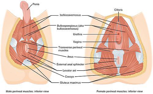 Svaly perinea u muže a ženy