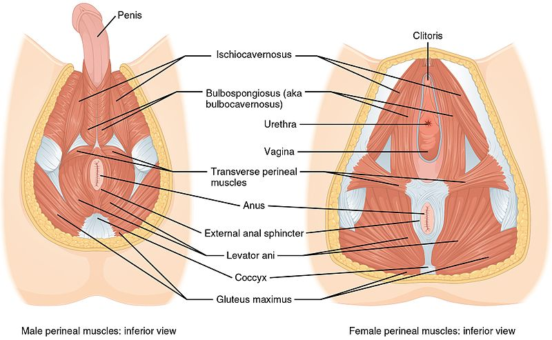 File 1116 Muscle Of The Perineum Jpg Wikimedia Commons
