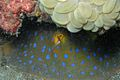 12-EastTimor-Dive Bubble Beach 27 (Blue-spotted Stingray)-APiazza.JPG