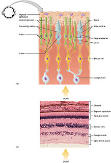 Photoreceptor cell specialized type of cell found in the retina that is capable of visual phototransduction