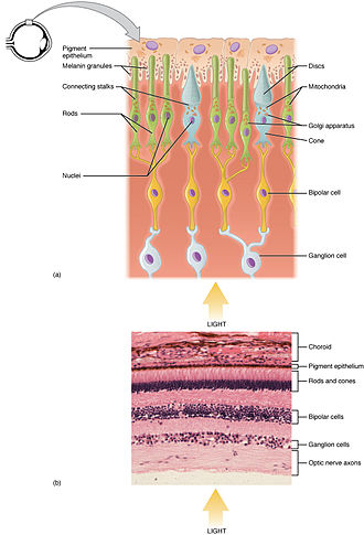 Photoreceptor cell - Functional parts of the rods and cones, which are two of the three types of photosensitive cells in the retina