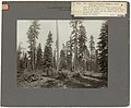 1911. Part of the C.S. and R.S. Moore timber sale area on the Crater National Forest. Showing good brush piling, low stumps, and the trees left in the selection cutting. (39756364010).jpg