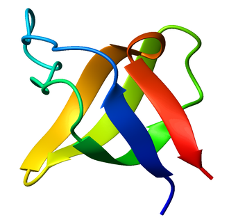 SH3 domain - Ribbon diagram of the SH3 domain, alpha spectrin, from chicken (PDB accession code 1SHG), colored from blue (N-terminus) to red (C-terminus).
