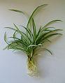 2007-06-24-Chlorophytum comosum-02.jpg