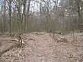 2009-04 Санітарними рубками намагаться знищити найцінніші дерева проектованого заказника Чернечий ліс (2).jpg