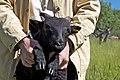 2011-365-176 Lamb Stand (5873290352).jpg