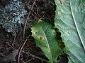 2012-05-28 Puccinia taraxaci Plow 223761.jpg