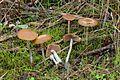2012-12-05 Psilocybe cyanescens Wakef 290265.jpg