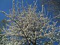 20120401Kirschbluete Rheihausen01.jpg