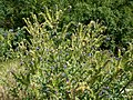20120626Anchusa officinalis2.jpg