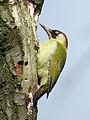 2014-04-14 Picus viridis, Gosforth Park 3.jpg