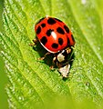 2014-05-28 17-46-36 Coccinellidae.jpg