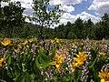 2014-06-24 12 22 04 Field of wildflowers amidst Aspen groves just east of Elko County Route 748 (Charleston-Jarbidge Road) on the east side of Copper Basin, Nevada.jpg