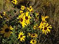 2014-09-08 08 43 25 Sunflowers along Interstate 80 near milepost 275 in Eureka County, Nevada.JPG