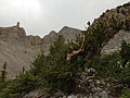 2014-09-15 13 44 24 View of a Bristlecone Pine and Wheeler Peak from the Glacier Trail in Great Basin National Park, Nevada.JPG