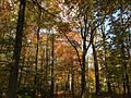 2014-10-30 13 11 43 Trees during autumn in the woodlands along the West Branch Shabakunk Creek in Ewing, New Jersey.JPG