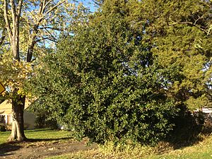 Ilex aquifolium - Cultivated specimen in North America