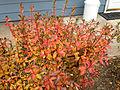 2014-12-20 13 17 39 Leaf coloration of Azalea cultivar 'Rosebud' during early winter along Terrace Boulevard in Ewing, New Jersey.JPG