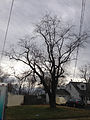 2014-12-28 12 26 36 Black Cherry along Dunmore Avenue in Ewing, New Jersey.JPG