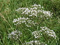 20140605Valeriana officinalis1.jpg