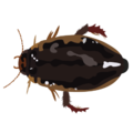 201412 Diving beetle.png