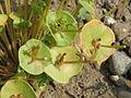 20150606Claytonia perfoliata7.jpg