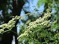 20150625Chaerophyllum bulbosum2.jpg