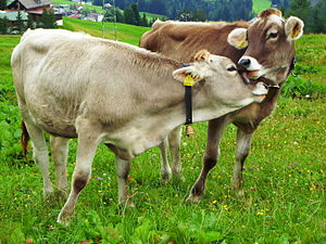 Livestock - Cattle on a pasture in Germany