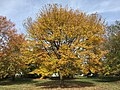 2016-10-31 13 25 15 Red Maple with mostly yellow foliage at the end of October on Franklin Farm Road at Tranquility Lane in the Franklin Farm section of Oak Hill, Fairfax County, Virginia.jpg