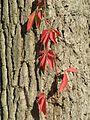 20161002Parthenocissus quinquefolia09.jpg