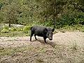 20170904 Papouasie Baliem valley pig.jpg