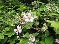 2018-06-28 Blackberry (Rubus) bush in flower, Church Road, Trimingham (1).JPG