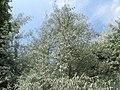 20180607Elaeagnus angustifolia2.jpg