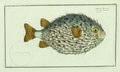 2019 NYR 17037 0016 005(bloch marcus elieser ichthyologie ou histoire naturelle generale et pa).jpg