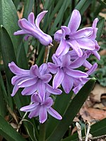 2020-03-20 13 00 37 Hyacinth with pink-purple flowers along Elevation Lane in the Franklin Farm section of Oak Hill, Fairfax County, Virginia.jpg