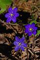 3 Hepatica nobilis.jpg