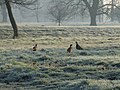 3 Pheasants at Luton Hoo - geograph.org.uk - 694317.jpg