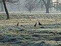 3 Pheasants at Luton Hoo - geograph.org.uk - 694317.jpg